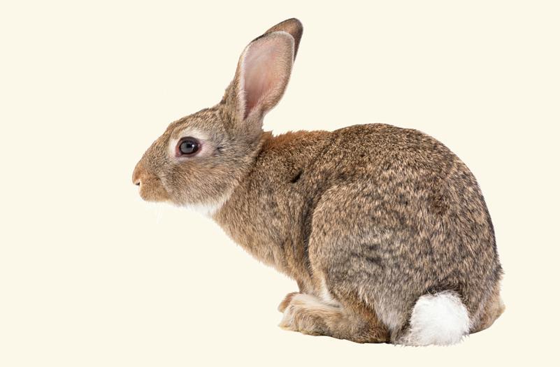Flappie, een konijn