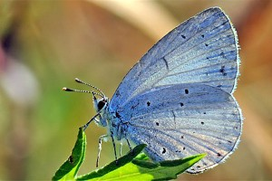 Blauwtje, een vlindersoort met veel varianten