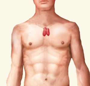thymus - zwezerik
