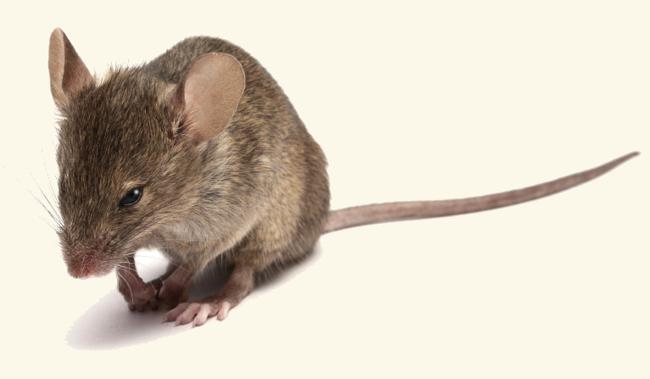 muizen - de bosmuis