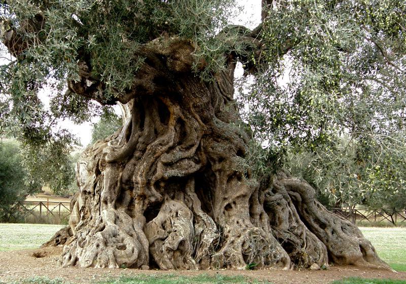 Oudste olijfboom ter wereld