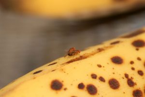 fruitvliegjes op een banaan